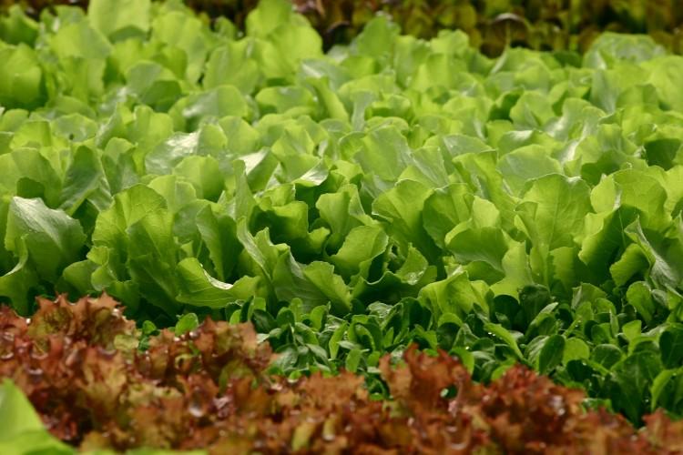Ob hell- und dunkelgrün oder rötlich gefärbt - knackige Blattsalate schmecken in jeder Jahreszeit. Auch jetzt im Winter sollte man nicht auf diese frischen Produkte verzichten, die dazu noch unsere Abwehrkräfte stärken. (Foto: GMH/GSV)
