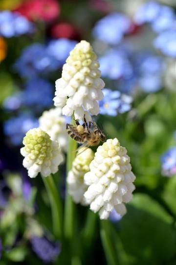Nachhaltig produzierte Zierpflanzen helfen Bienen: Wenn der Garten im Frühjahr erwacht, bieten Traubenhyazinthen (Muscari) eine frühe Nahrungsquelle. (Foto: GMH/M.Wild)