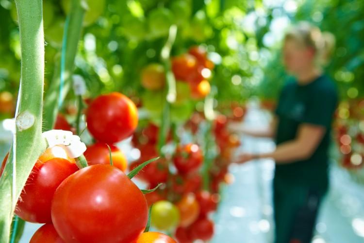 Aromatisches Gemüse schmeckt besser. Deshalb legen Feinschmecker Wert auf lange gereifte, regionale Produkte mit kurzen Transportwegen. (Foto: GMH/GSV)