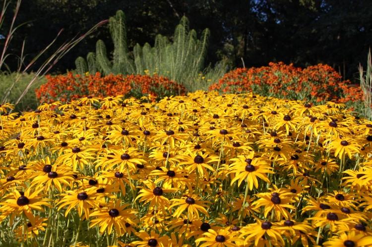 Traumpaar: Sonnenhut (Rudbeckia, Bildvordergrund) und Sonnenbraut (Helenium) ergänzen sich in Blütezeit, Farbe und Höhe aufs Schönste. Am besten wirken sie in größeren Gruppen. (Foto: GMH/Bettina Banse)