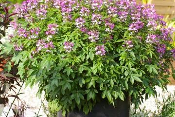 Die exotisch anmutenden Blüten und die elegante Gestalt machen 'Señorita Rosalita' zum Blickfang im Garten und auf dem Balkon. (Foto: GMH)