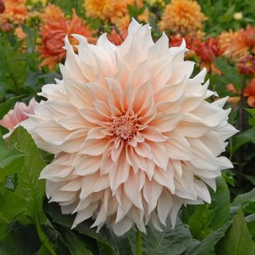 Riesig und anmutig zugleich: die Blüten der Dahlie 'Café au Lait' haben einen Durchmesser von bis zu 25 Zentimetern und sind zartrosa gefärbt. (Foto: fluwel.de)